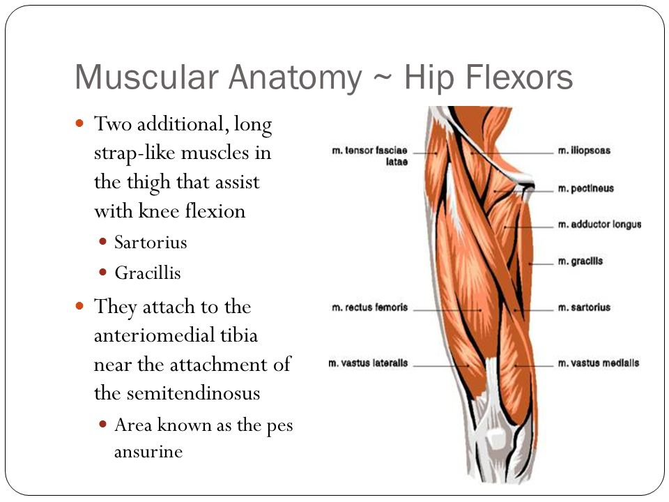 Anatomy Of The Hip Flexors Image collections - human body anatomy