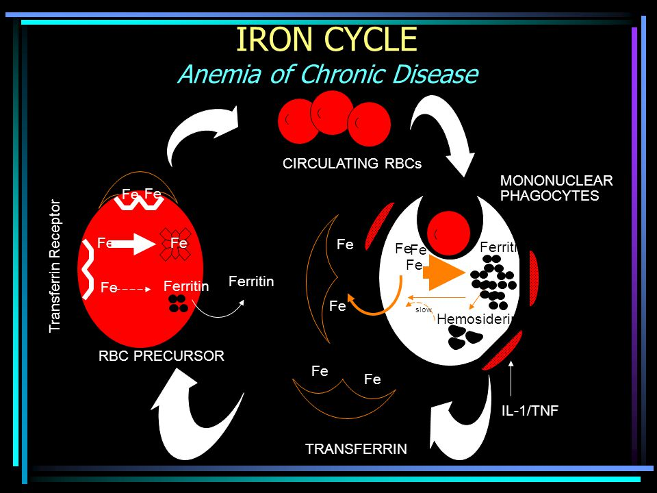 IRON CYCLE Anemia of Chronic Disease