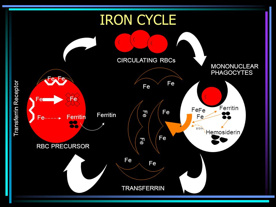 IRON CYCLE CIRCULATING RBCs MONONUCLEAR PHAGOCYTES