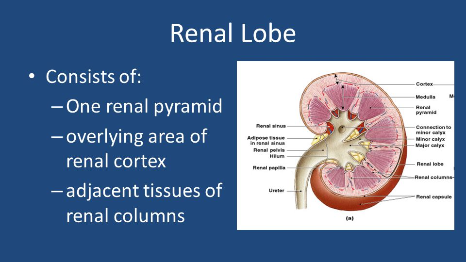 Renal Lobe Consists of: One renal pyramid