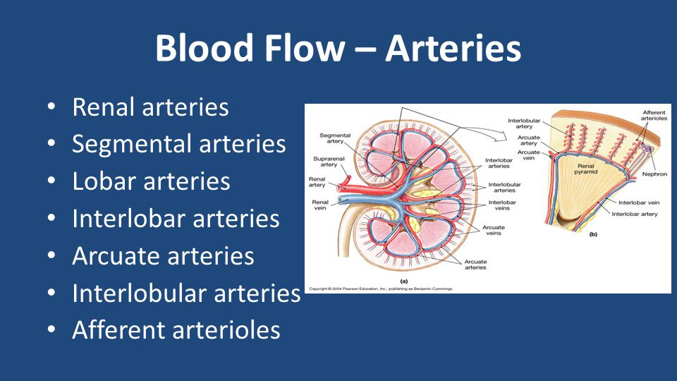 Blood Flow – Arteries Renal arteries Segmental arteries Lobar arteries