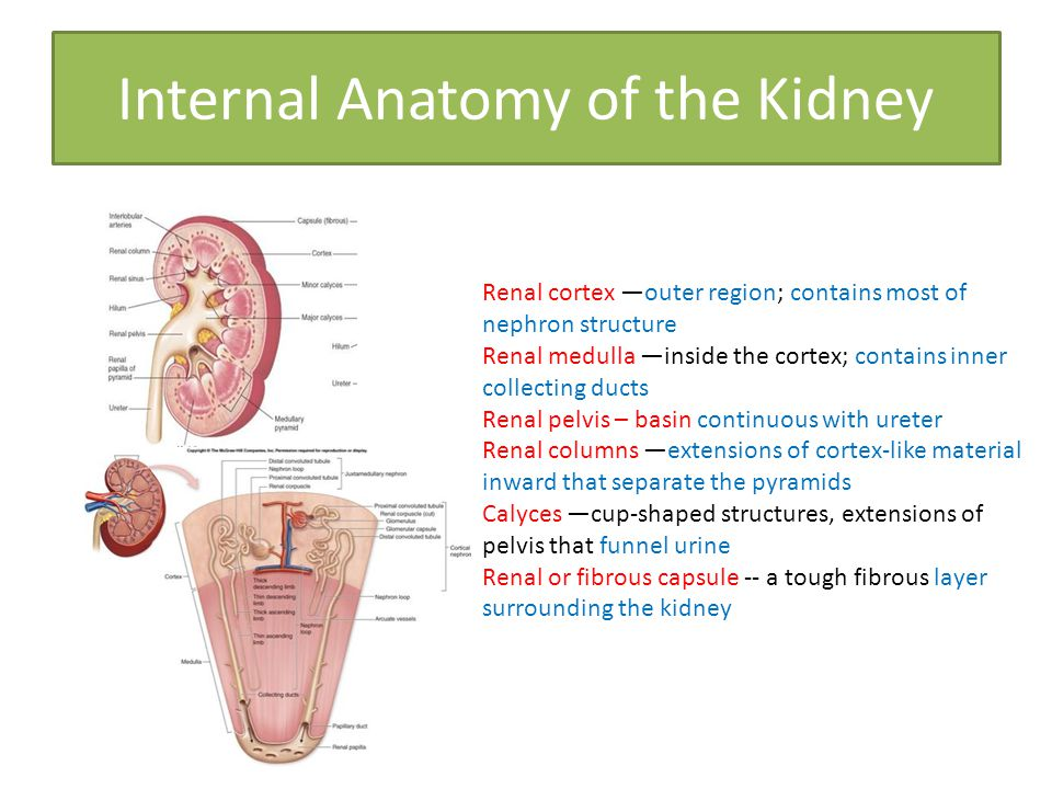 Exercise 26 Functional Anatomy of The Urinary System - ppt video ...