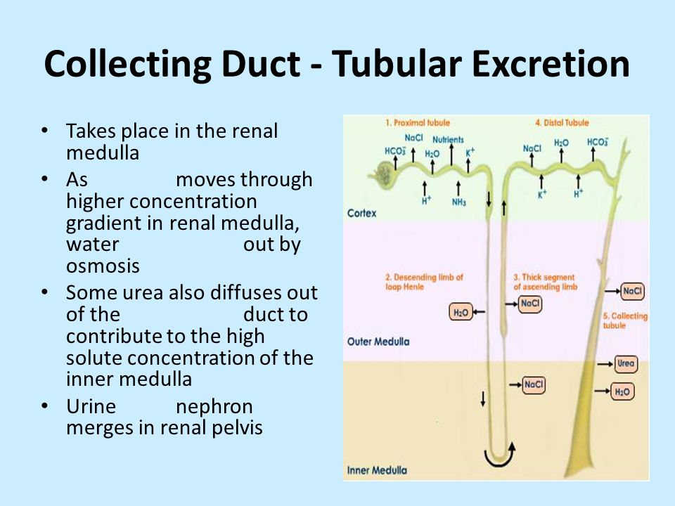 Collecting Duct - Tubular Excretion