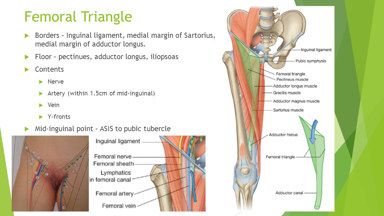 Adductor Canal Anatomy Image collections - human body anatomy