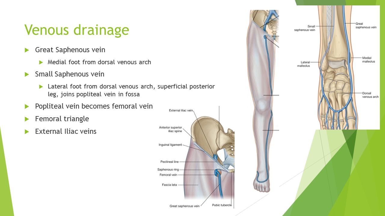 Lower Limb Anatomy. - ppt video online download