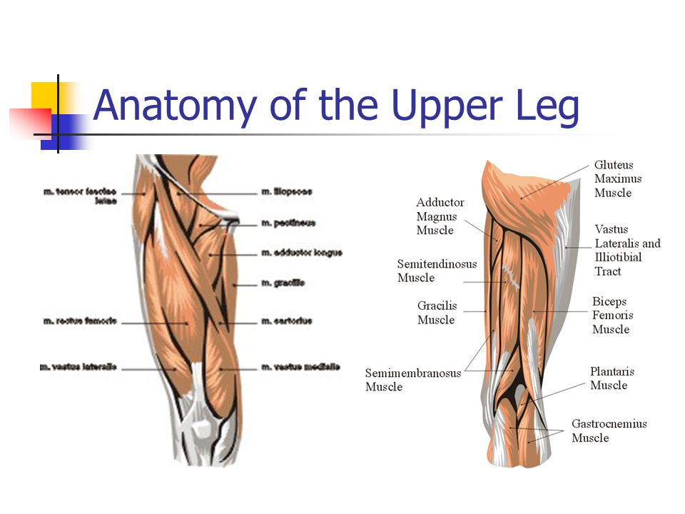 Part 4 Anatomies Of The Lower Limbs The Knee Thigh Hip And Groin