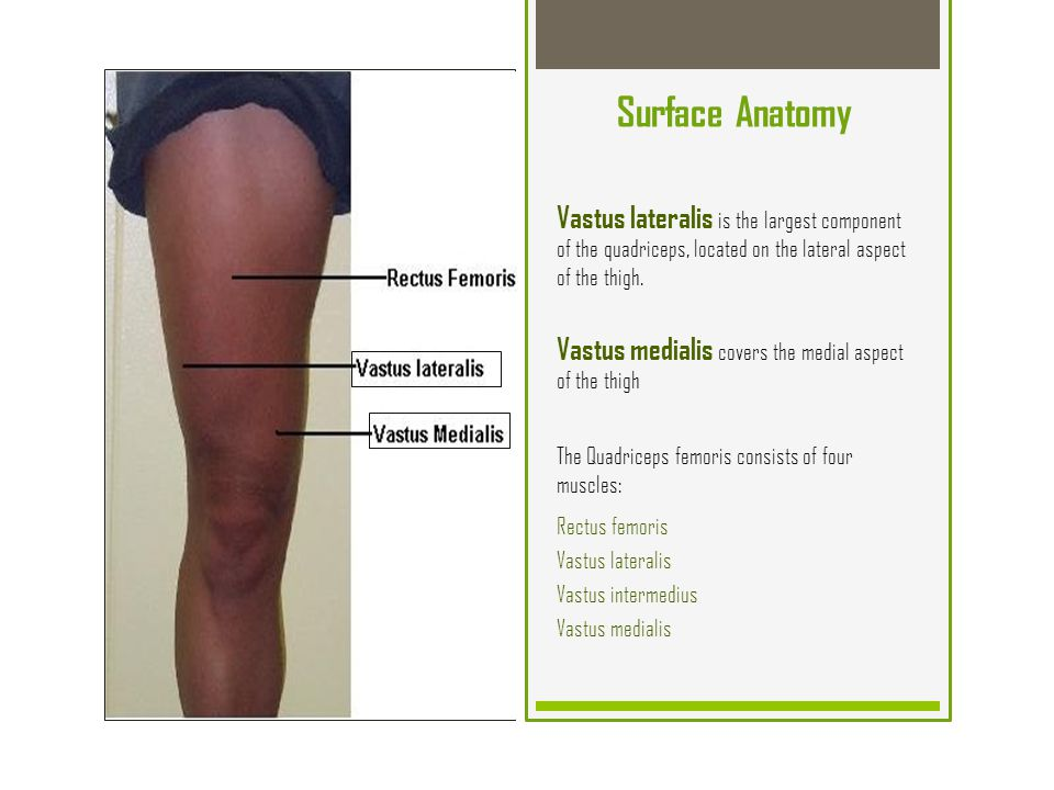 Enchanting Anatomy Of The Quadriceps Composition - Human Anatomy ...