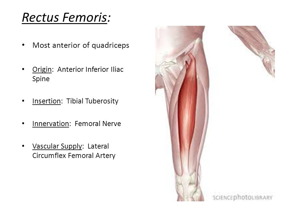 The knee tibiofemoral joint ppt video online download 39 rectus ccuart Choice Image