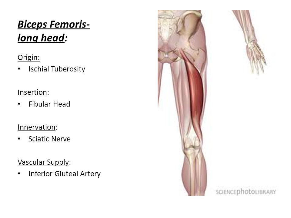 The knee tibiofemoral joint ppt video online download 50 biceps ccuart Choice Image