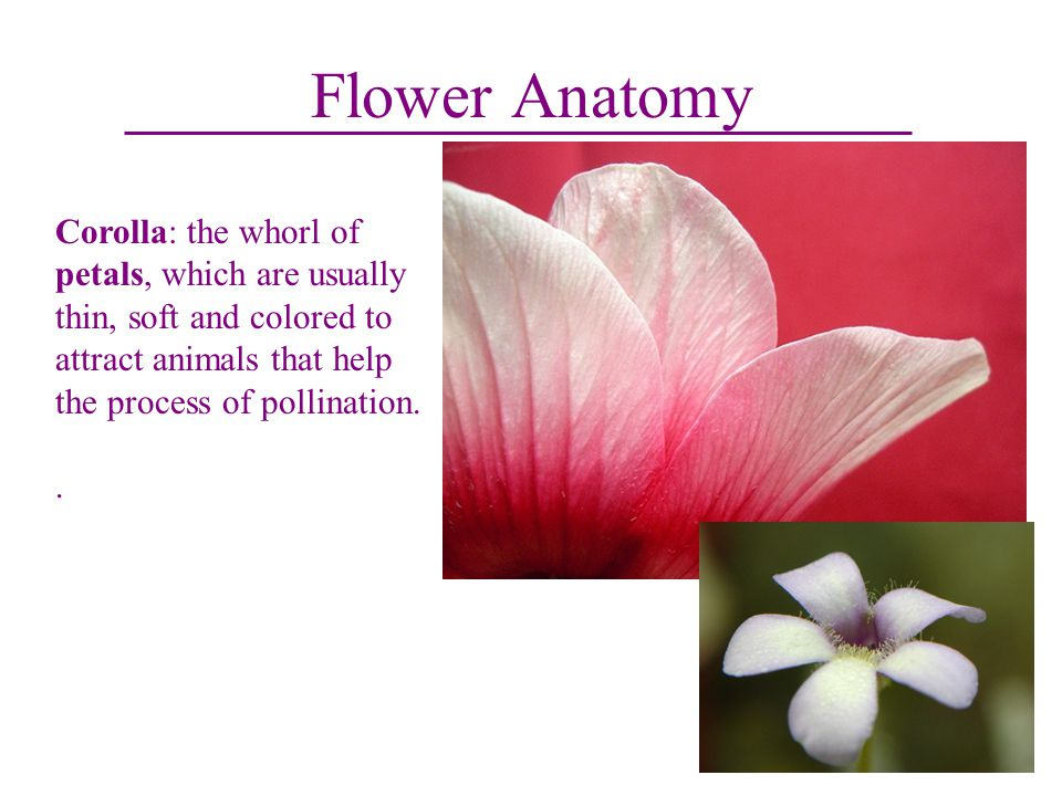 Old Fashioned Anatomy Of A Flowering Plant Photo - Anatomy And ...