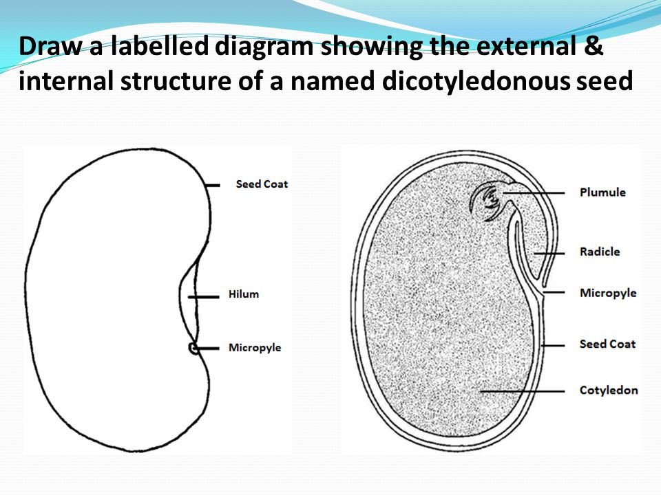 9 3 reproduction in angiospermophytes ppt video online download rh slideplayer com draw and label a diagram showing the structure of a mitochondrion as seen in electron micrographs draw and label a diagram showing the structure of a chloroplast as seen in electron micrographs