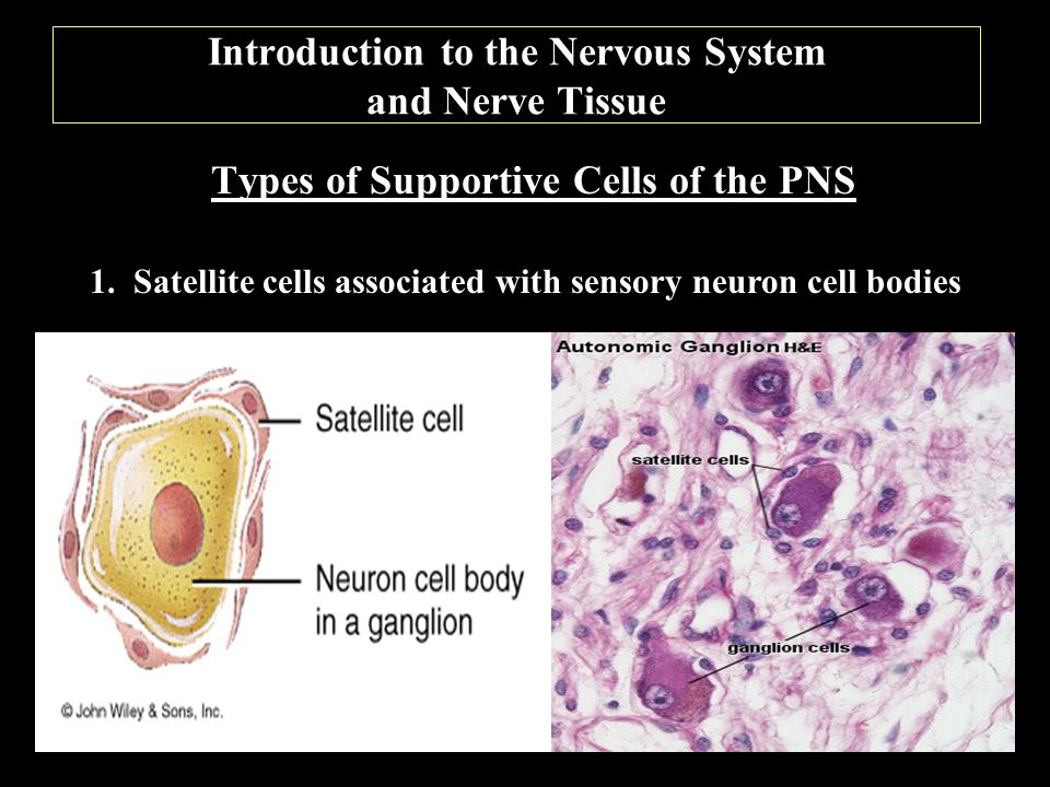 Introduction to the Nervous System and Nerve Tissue