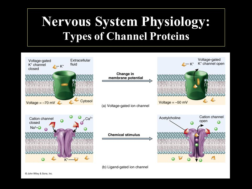 Nervous System Physiology: Types of Channel Proteins