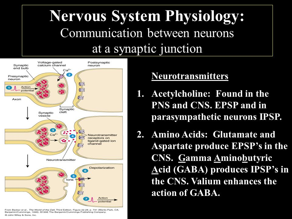 Nervous System Physiology: Communication between neurons at a synaptic junction