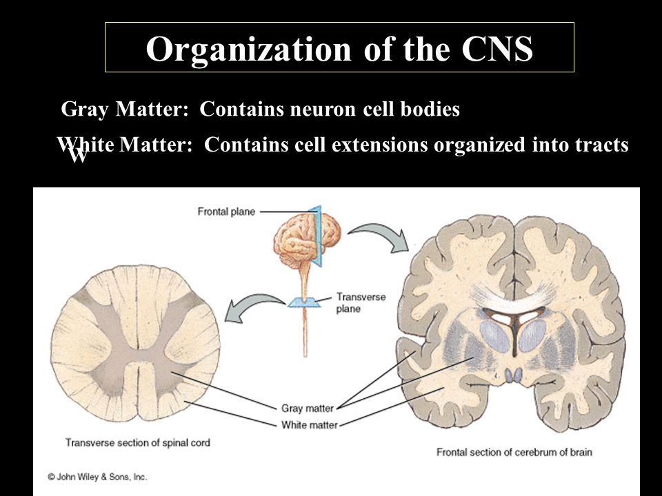Organization of the CNS