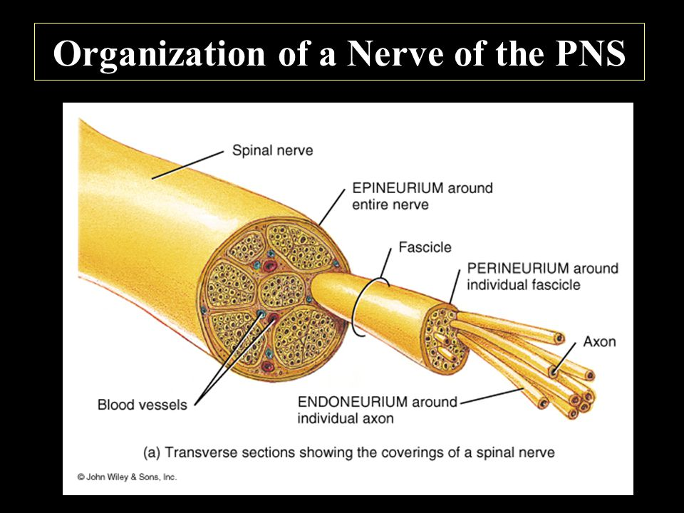 Organization of a Nerve of the PNS