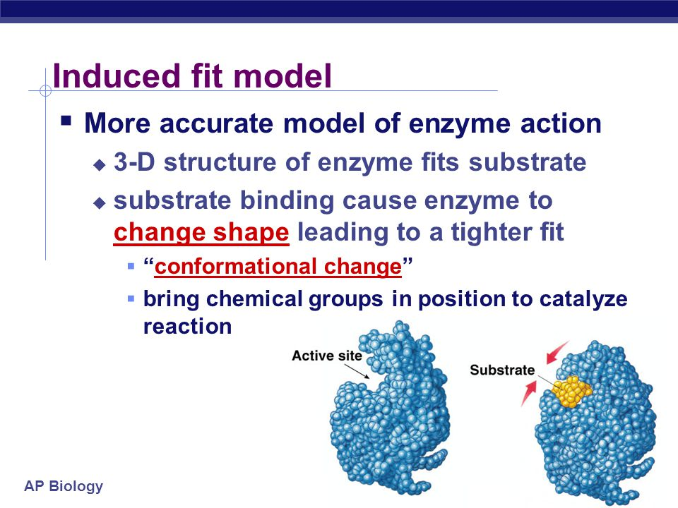 Induced fit model More accurate model of enzyme action