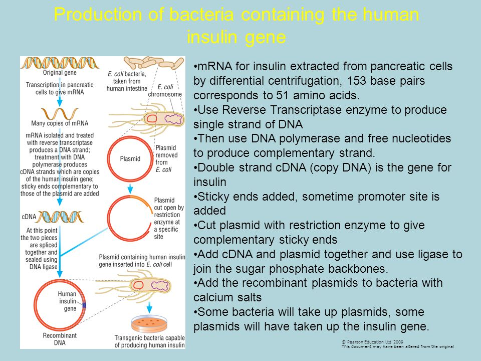 Production of bacteria containing the human insulin gene