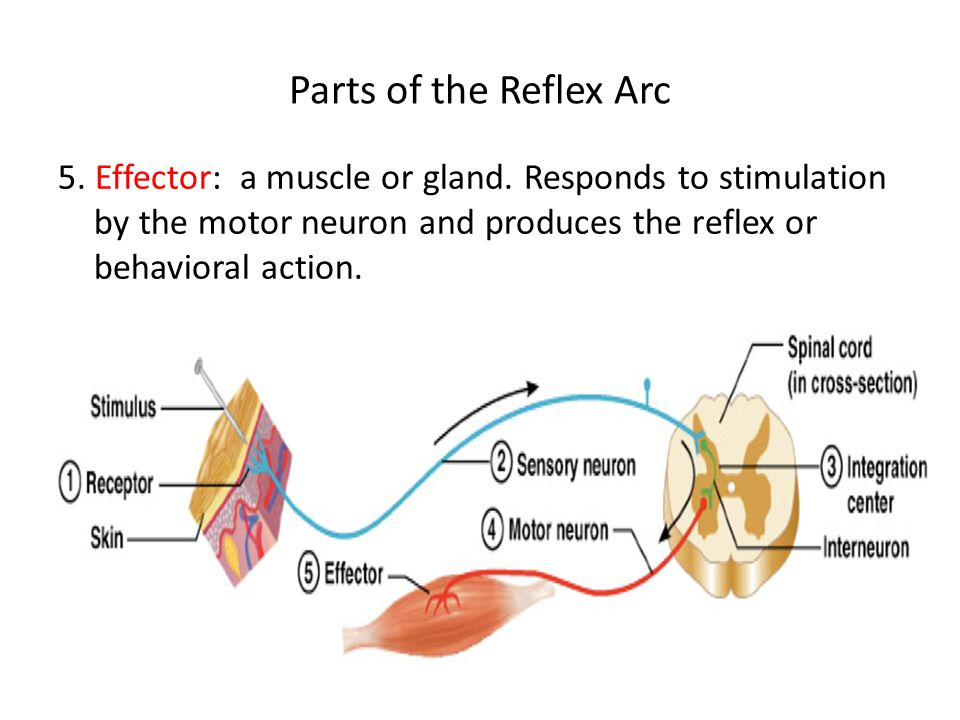 parts of a reflex arc