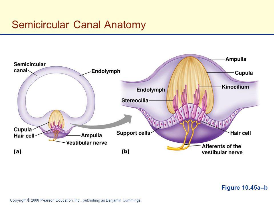 Attractive Semicircular Canals Anatomy Crest - Internal organs ...