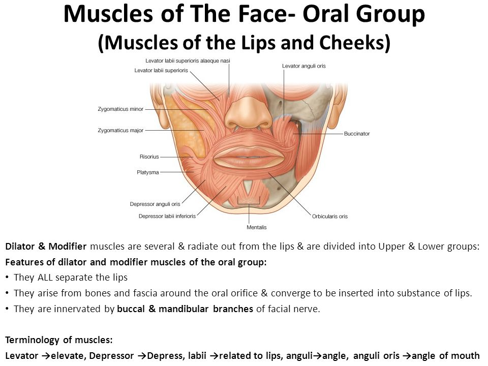 The Face & Muscles of facial expressions - ppt video online download