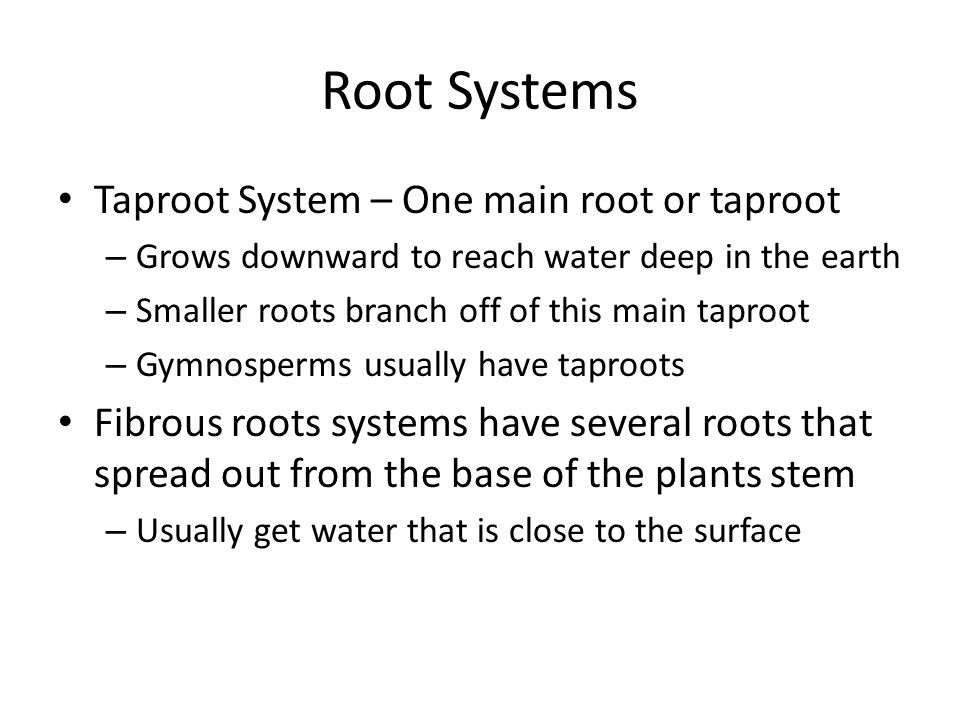 Root Systems Taproot System – One main root or taproot
