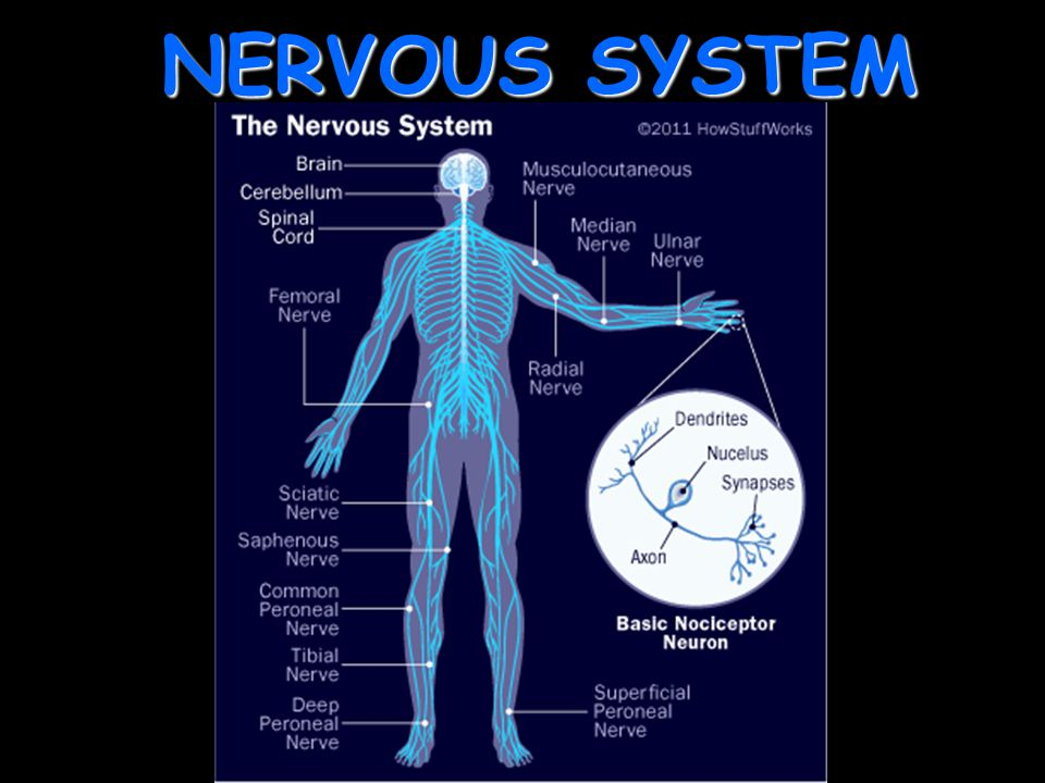 Nervous System Ppt Download