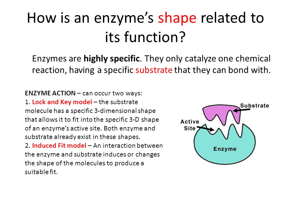 How is an enzyme's shape related to its function