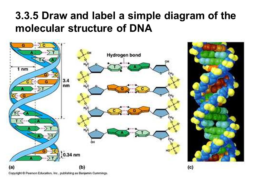 3.3 and 3.4 DNA Structure and Replication - ppt video ...
