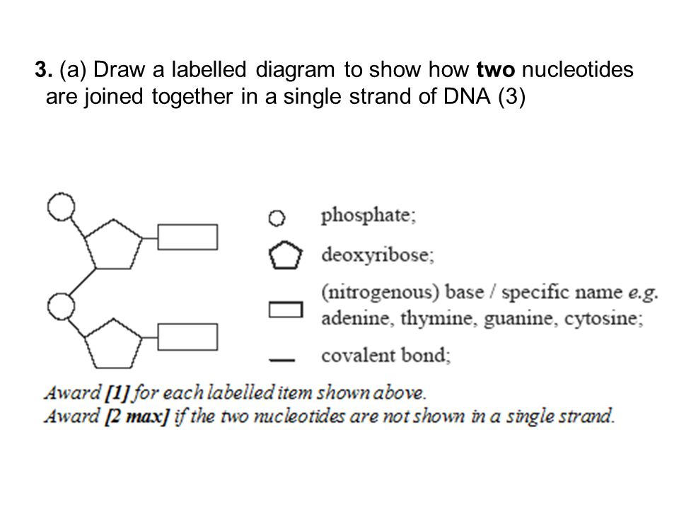 Nucleotide Diagram Of 2 Diy Wiring Diagrams