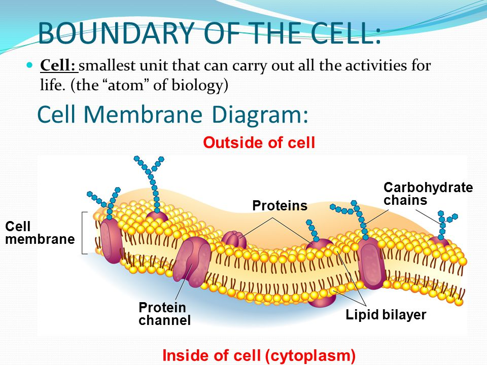 Cell membrane passive transport ppt download boundary of the cell cell membrane diagram ccuart Image collections