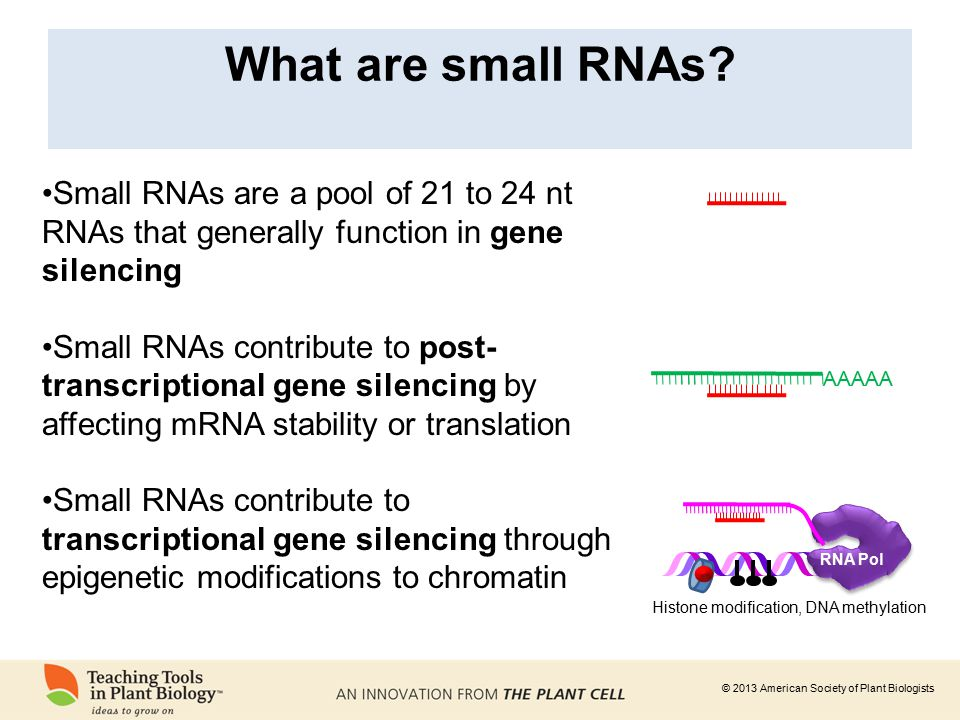 what are small rnas small rnas are a pool of 21 to 24 nt rnas that