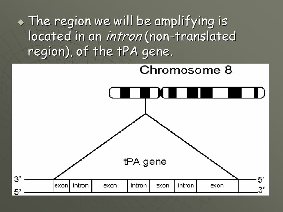The region we will be amplifying is located in an intron (non-translated region), of the tPA gene.