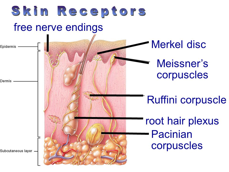 Peripheral Nervous System Ch Ppt Video Online Download