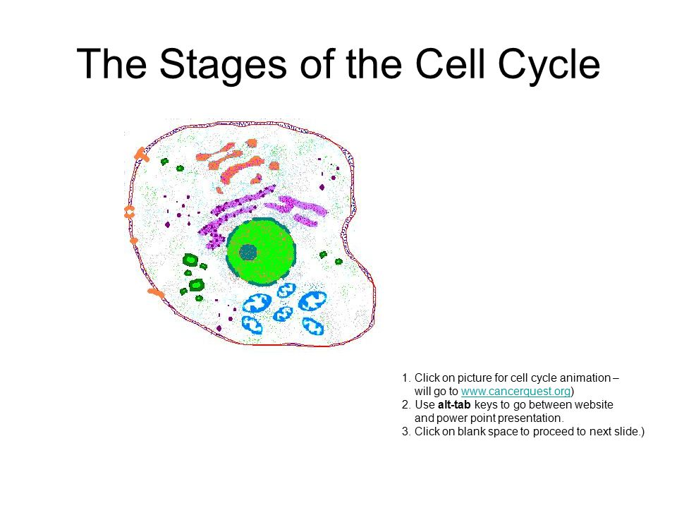 The Stages of the Cell Cycle