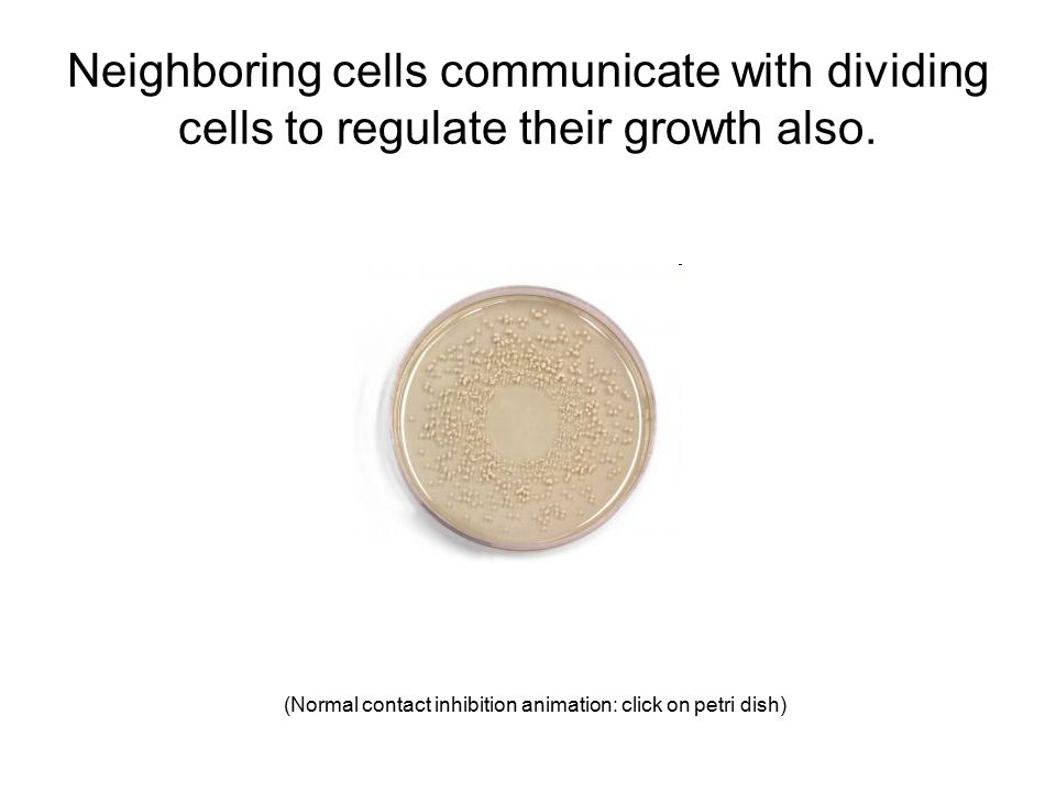 Neighboring cells communicate with dividing cells to regulate their growth also.