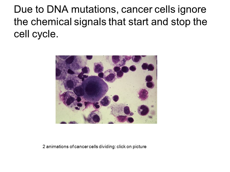 Due to DNA mutations, cancer cells ignore the chemical signals that start and stop the cell cycle.