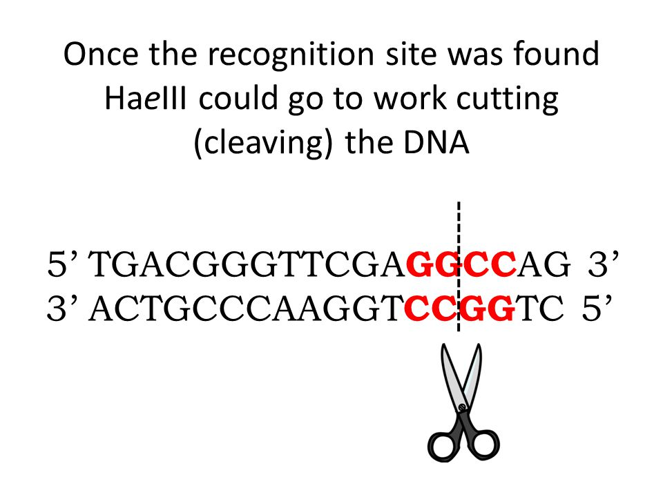 Once the recognition site was found HaeIII could go to work cutting (cleaving) the DNA