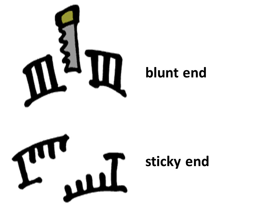 blunt end sticky end