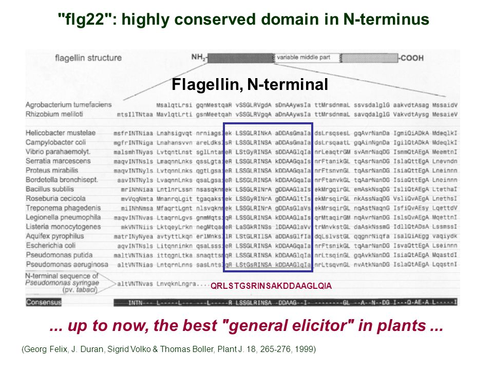 flg22 : highly conserved domain in N-terminus