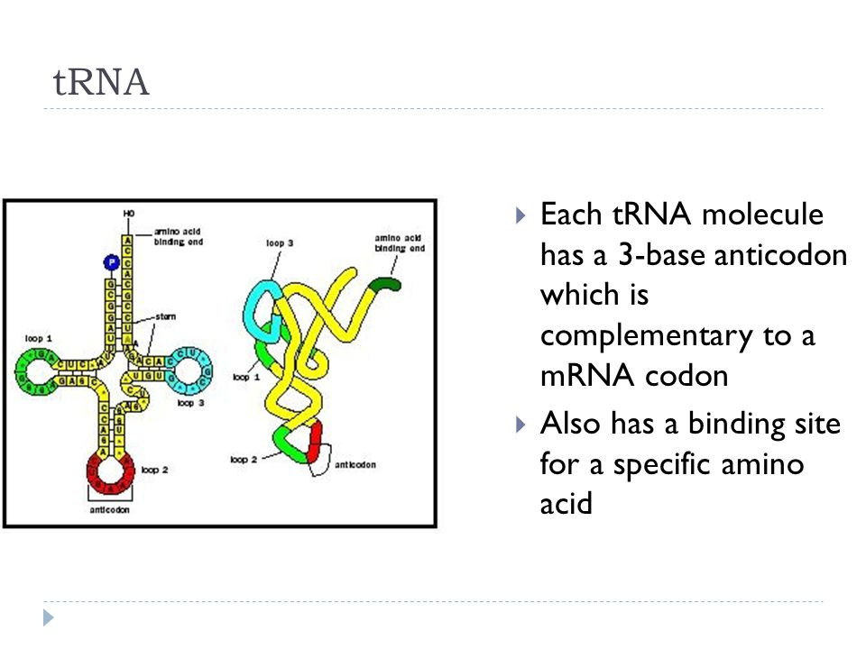 tRNA Each tRNA molecule has a 3-base anticodon which is complementary to a mRNA codon.