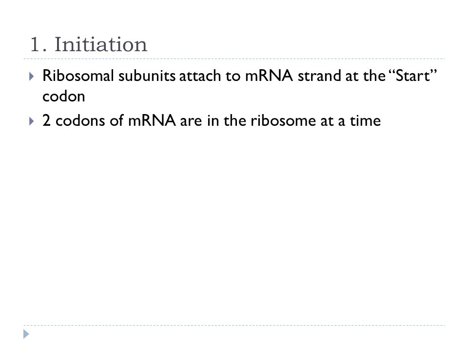 1. Initiation Ribosomal subunits attach to mRNA strand at the Start codon.
