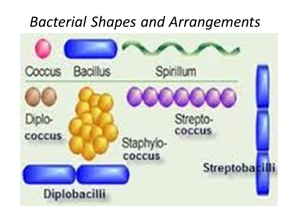 Bacterial morphology and structure ppt video online download 3 bacterial shapes and arrangements ccuart Gallery
