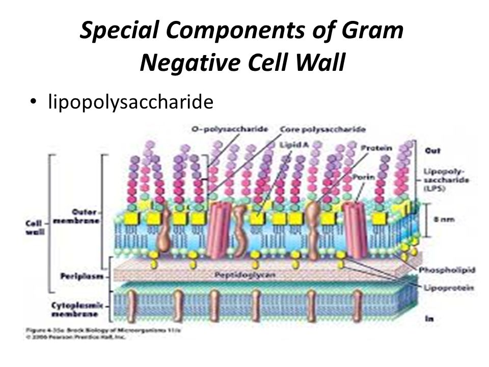 Bacterial morphology and structure ppt video online download special components of gram negative cell wall ccuart Image collections