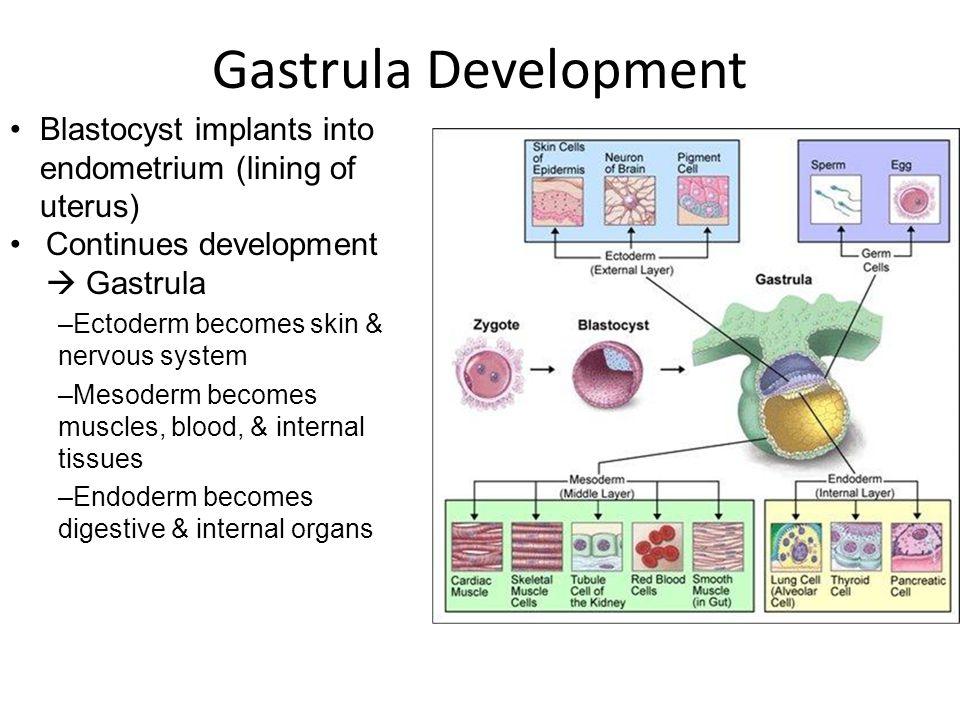 Blastocyst Development Ppt Video Online Download