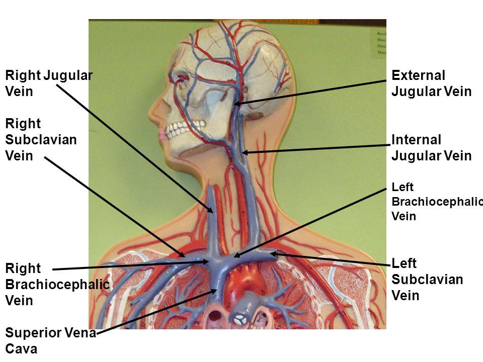 Nice Subclavian Vein Anatomy Images Photo Internal Organs Diagram
