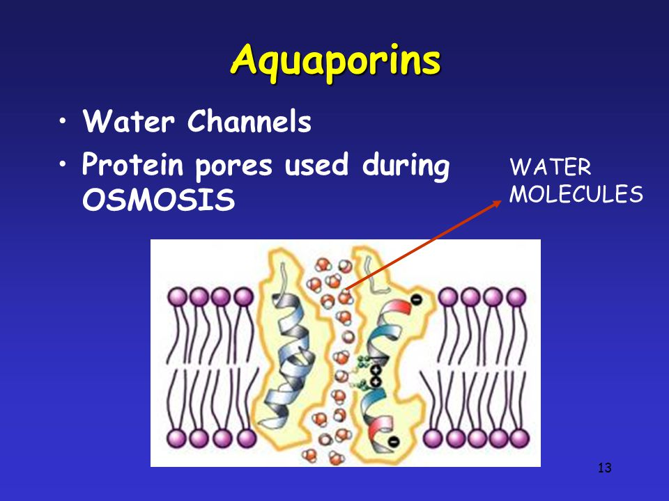 Aquaporins Water Channels Protein pores used during OSMOSIS