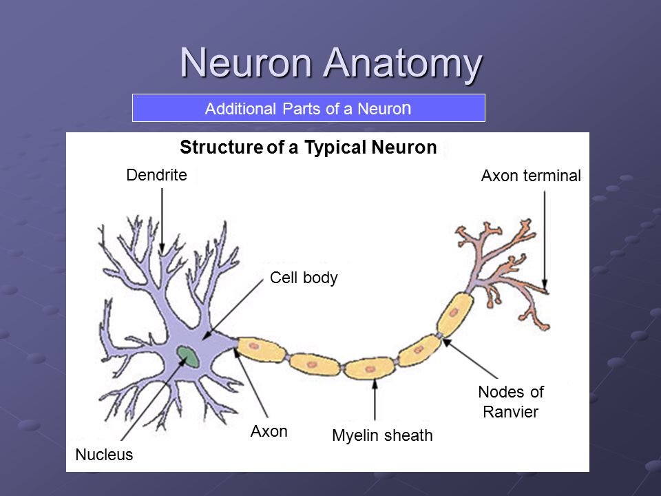 Additional Parts of a Neuron