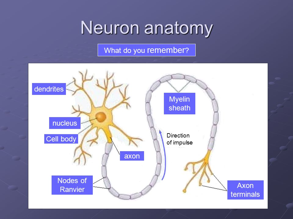 Neuron anatomy What do you remember dendrites