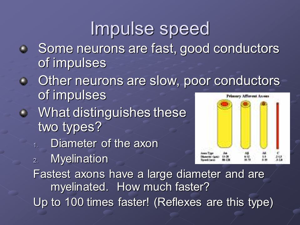 Impulse speed Some neurons are fast, good conductors of impulses